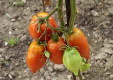 Tomates croissantes Photos stock