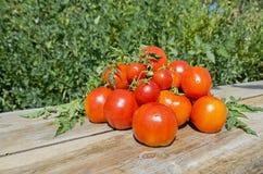 Tomates croissantes d'été Photographie stock