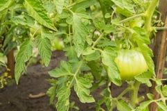 Tomates croissantes dans votre jardin Les tomates vertes mûrissent dans le jardin Images libres de droits