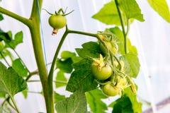 Tomates croissantes en serre chaude La technologie de l'irrigation par égouttement en serre chaude Photos stock