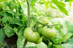 Tomates croissantes en serre chaude La technologie de l'irrigation par égouttement en serre chaude Image libre de droits