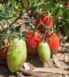 Tomates croissantes sur la centrale Photographie stock