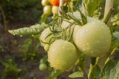 Tomates croissantes sur un jardin domestique Photographie stock libre de droits