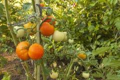 Tomates croissantes sur un jardin domestique Photo stock