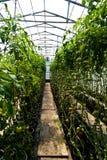 Tomates cultivées en serre photographie stock libre de droits