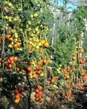 Tomates cultivados em casa imagem de stock