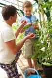Tomates cultivados em casa de And Son Harvesting do pai na estufa Imagens de Stock Royalty Free
