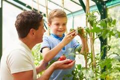 Tomates cultivados em casa de And Son Harvesting do pai na estufa Fotografia de Stock