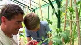 Tomates cultivados em casa de And Son Harvesting do pai na estufa vídeos de arquivo