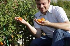 Tomates d'inspectes d'homme photographie stock libre de droits