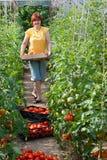 Tomates da colheita da mulher Foto de Stock