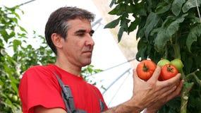 Tomates da colheita do trabalhador Imagem de Stock Royalty Free