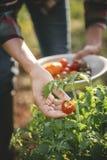 Tomates da colheita da mulher das folhas Fotografia de Stock