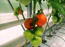 Tomates da estufa Imagem de Stock