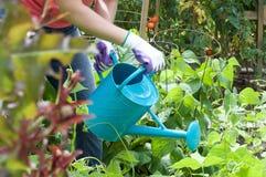 Tomates da herança em uma cesta Foto de Stock Royalty Free
