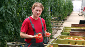 Tomates da terra arrendada do trabalhador na estufa Imagens de Stock Royalty Free