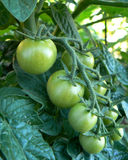 Tomates da uva na videira Fotografia de Stock Royalty Free