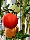 Tomates dans 3 étapes Image stock