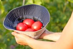 Tomates dans des mains d'agriculteur à l'arrière-plan vert naturel photos stock