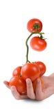 Tomates dans la main d'une fille Photo stock