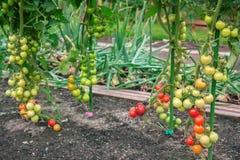 Tomates dans le domaine photographie stock