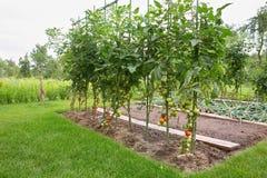 Tomates dans le domaine photo libre de droits