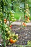 Tomates dans le domaine photographie stock libre de droits