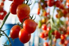 Tomates dans le jardin, potager avec des usines des tomates rouges Tomates mûres sur une vigne, s'élevant sur un jardin Tomates r Photographie stock