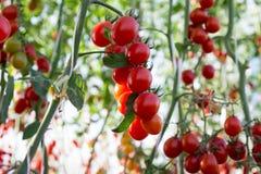 Tomates dans le jardin, potager avec des usines des tomates rouges Tomates mûres sur une vigne, s'élevant sur un jardin Tomates r Photos stock