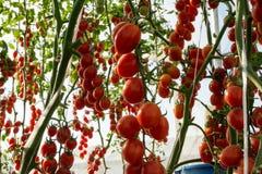 Tomates dans le jardin, potager avec des usines des tomates rouges Tomates mûres sur une vigne, s'élevant sur un jardin Tomates r Photographie stock libre de droits