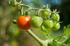 Tomates dans le potager Images stock