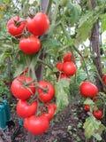 Tomates dans un bio-jardin Images libres de droits