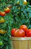 Tomates dans une verticale de panier Image libre de droits