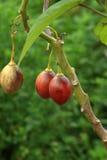Tomates de árbol Imagen de archivo libre de regalías