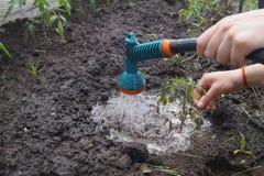 Tomates de arrosage de jeune plante image libre de droits