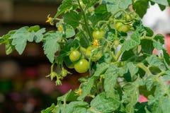 Tomates de Bush Imagen de archivo libre de regalías