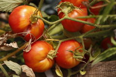 Tomates de cereja Foto de Stock Royalty Free