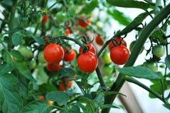 Tomates de cereja crescentes Fotografia de Stock