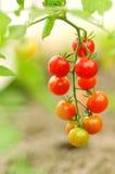 Tomates de cereja crescentes, rasos profundamente do campo Foto de Stock