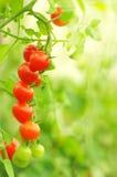 Tomates de cereja crescentes, rasos profundamente do campo Imagem de Stock Royalty Free