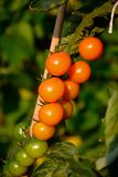 Tomates de cereja de Sungold Foto de Stock Royalty Free