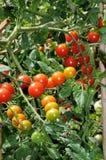 Tomates de cereja do doce milhão na planta. Fotografia de Stock