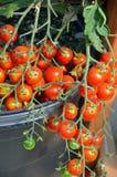 Tomates de cereja frescos Fotografia de Stock Royalty Free