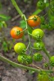 Tomates de cereja Greeny - tomates de cereja verdes do grupo em um gre Imagens de Stock