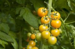 Tomates de cereja na estufa foto de stock royalty free