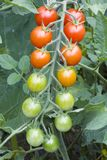 Tomates de cereja na videira Fotografia de Stock