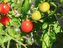 Tomates de cereja na videira Imagens de Stock