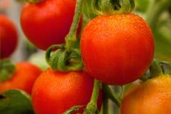 Tomates de cereja na videira Foto de Stock Royalty Free