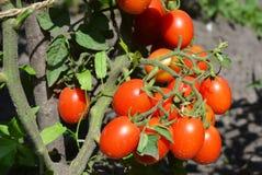 Tomates de cereja no jardim Os tomates de cereja são um dos vegetarianos os mais fáceis a crescer Fotografia de Stock Royalty Free