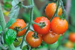Tomates de cereja no tempo chuvoso Fotografia de Stock Royalty Free